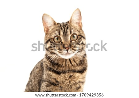 A pitiful striped young cat sits and looks into the camera. Isolated on abstract blurred white background. Veterinary and advertising mockup. Detailed studio closeup