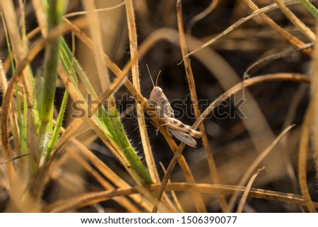 A plant-eating insect with long hind legs that are used for jumping and producing a chirping sound. It frequents grassy places and low vegetation.
