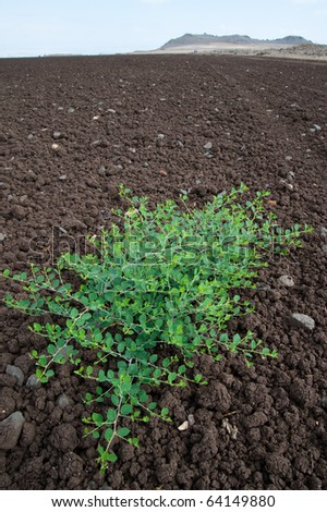 A plant grows in the middle of a freshly tilled field on an Israeli Jewish kibbutz communal farm.