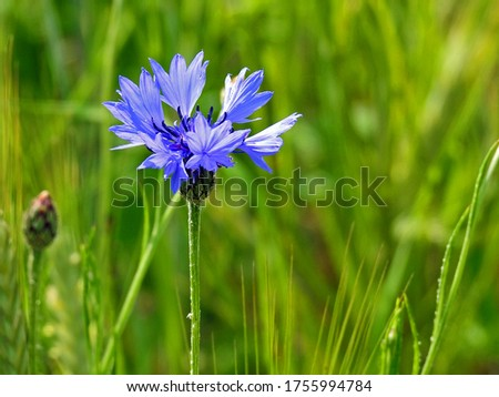 a plant with blue flowers called Cornflower Cornflower growing along a dirt road in the village of Fasty in the Podlasie region in Poland Zdjęcia stock ©
