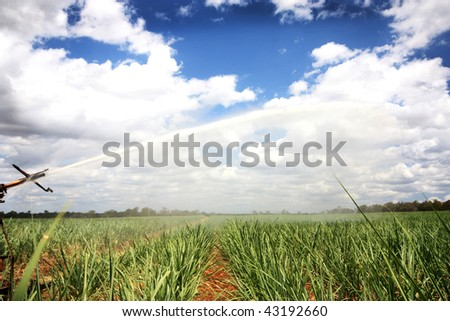 a plantation of young  sugar cane growing