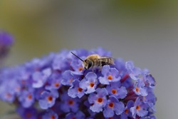 A plasterer bee (Colletes sp.) on a blue flower. Plasterer bees are ground nesting wild bees.