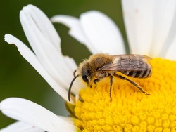 A plasterer bee (Colletes sp.) seen nectaring on an ox-eye daisy flower in June