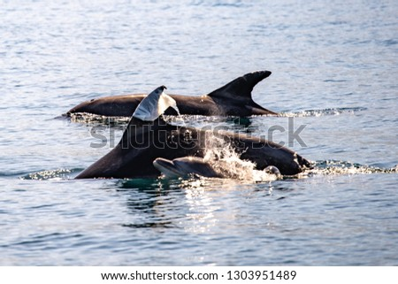 A plastic bag stuck in the dorsal fin of a bottlenose dolphin, swimming is a group pod of three animals, including one baby dolphin.  Coast of São Sebastião city, São Paulo state, Brazil.
