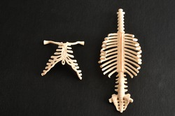 A plastic model of a human spine and ribcage isolated on a black background
