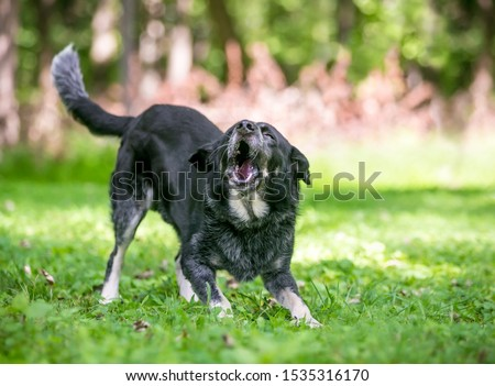 A playful Border Collie / Australian Cattle Dog mixed breed dog standing in a play bow position and barking Stockfoto ©