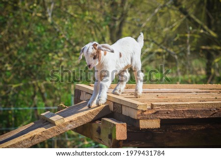A playful goat kid jumping around at a English dairy farm Stock fotó ©
