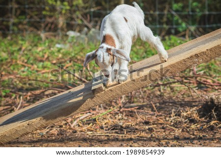 A playful goat kid jumping around at an English dairy farm in Norfolk Stock fotó ©