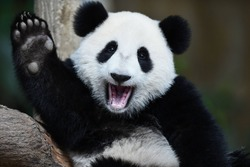 A playful happy panda in China