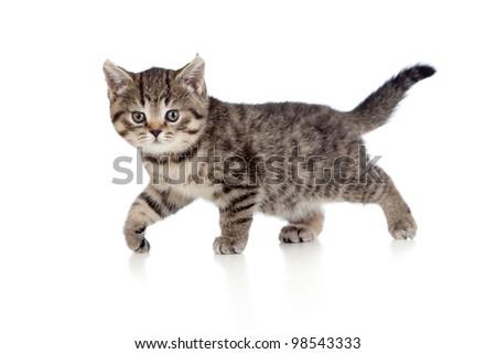 A playful kitten. British breed. Tabby.