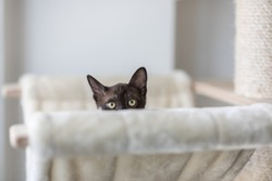 A playful kitten brown purebred Burmese. The little kitten is on a cat climbing tree with a cat bed and she is looking at the camera. She is hiding and only her eyes and ears are visible up.