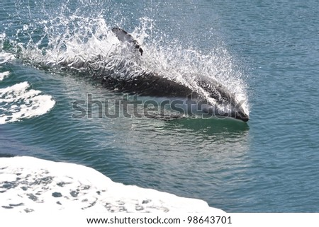 A playful Pacific white-sided dolphin rides the wake of a boat.