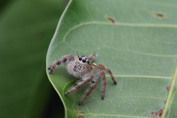 a plexippus paykulli or jumping spider is preparing to jump another leaf