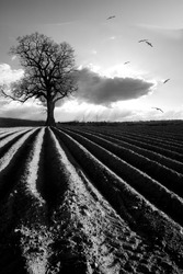 A ploughed field with a single tree at dawn in black and white