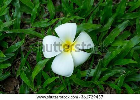 A Plumeria flower on the Grass #361729457