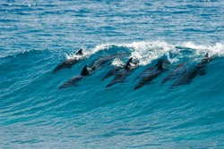 A pod of dolphins catch a wave and surf it in Mozambique.