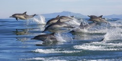 A pod of long-beaked common dolphins leap out of the water in Monterey Bay, California.