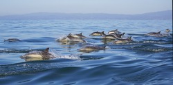 A pod of long-beaked common dolphins swim through the water of Monterey Bay, California.