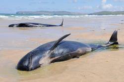 A pod of pilot whales lie stranded on a beach in Ireland