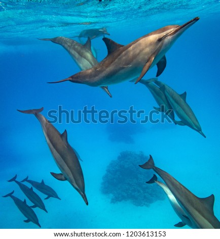 A pod of spinner dolphins swimming in the Red Sea #1203613153