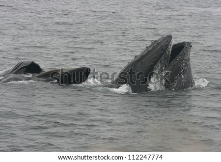 A pod of two Humpback whales show off their baleen as they lunge feed off the California coast.
