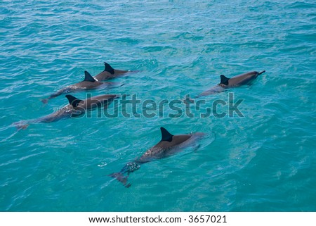 A pod of wild Spinner Dolphins observed on the West coast of Oahu
