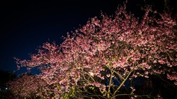 A poetic night with pinky cherry blossom on the sides.