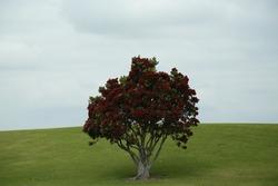 A pohutukawa tree in bloom, on a field.