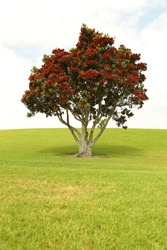 A pohutukawa tree in bloom on a small slope.