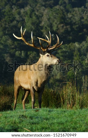 a 16 point red deer stag of 316 SCI, West Coast, South Island, New Zealand #1521670949
