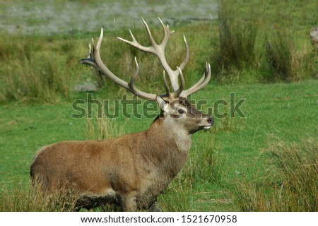 a 16 point red deer stag of 302 SCI, West Coast, South Island, New Zealand #1521670958