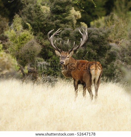 a 15 point Red Stag in the Kiakora range of mountains on the south island of New Zealand