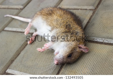 A poisoned rat lying on the stone floor