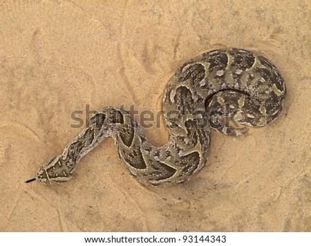 A poisonous puff adder (Bitis arietans) snake