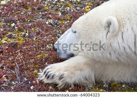 a polar bear dreams on the tundra soil waiting for the ice and snow that every year come later due to global warming, preventing from feeding and hunting on the ice