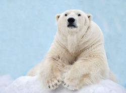 A polar bear is lying in the snow.