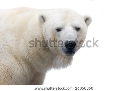 A polar bear isolated on white