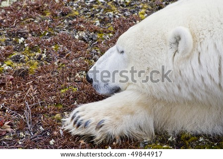 a polar bear lays on the ground of the arctic tundra waiting for the snow and ice to go hunting and stop starvation