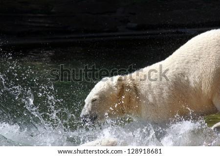 ShutterStock A Polar Bear play in the Water 128918681