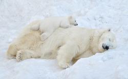 A polar bear sleeps in the snow with a small bear cub.