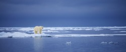 A polar bear stands on the edge of an ice floe in the Svalbard Archipelago.