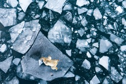 A polar bear trying to cool off by lying on a piece of ice melting due to global warming in the polar region