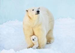 A polar bear with a small bear cub in the snow.