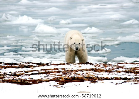 A polar bear with ice in the back ground