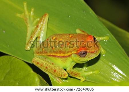 A Polka-dot Treefrog (Dendropsophus punctatus) peers comically in the Peruvian Amazon