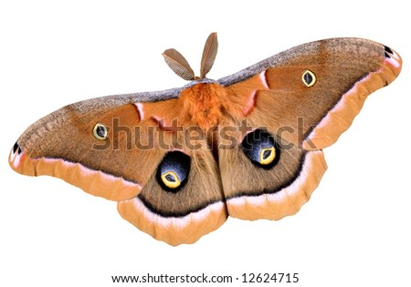 A polyphemus moth is photographed on a white background.