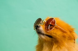A pomeranian puppy is wearing sunglasses.
