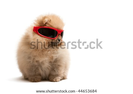 A pomeranian spitz is wearing sunglasses, isolated on white