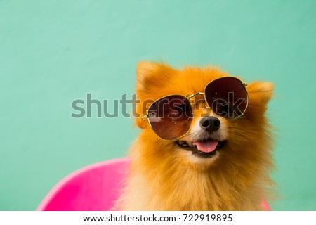 A pomeranian spitz puppy is wearing sunglasses. #722919895