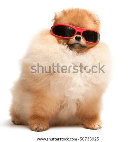 A pomeranian spitz puppy is wearing sunglasses; isolated on the white background